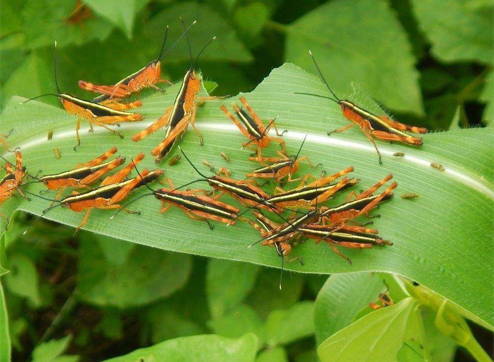ตั๊กแตนไผ่ (Yellow-spined bamboo locust)