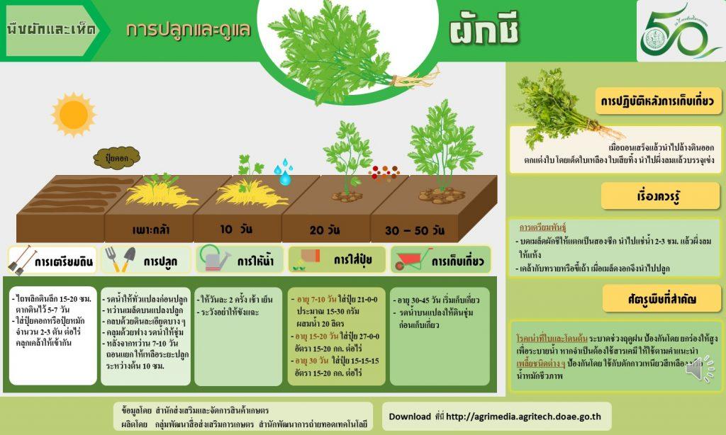 การปลูกและดูแลผักชี