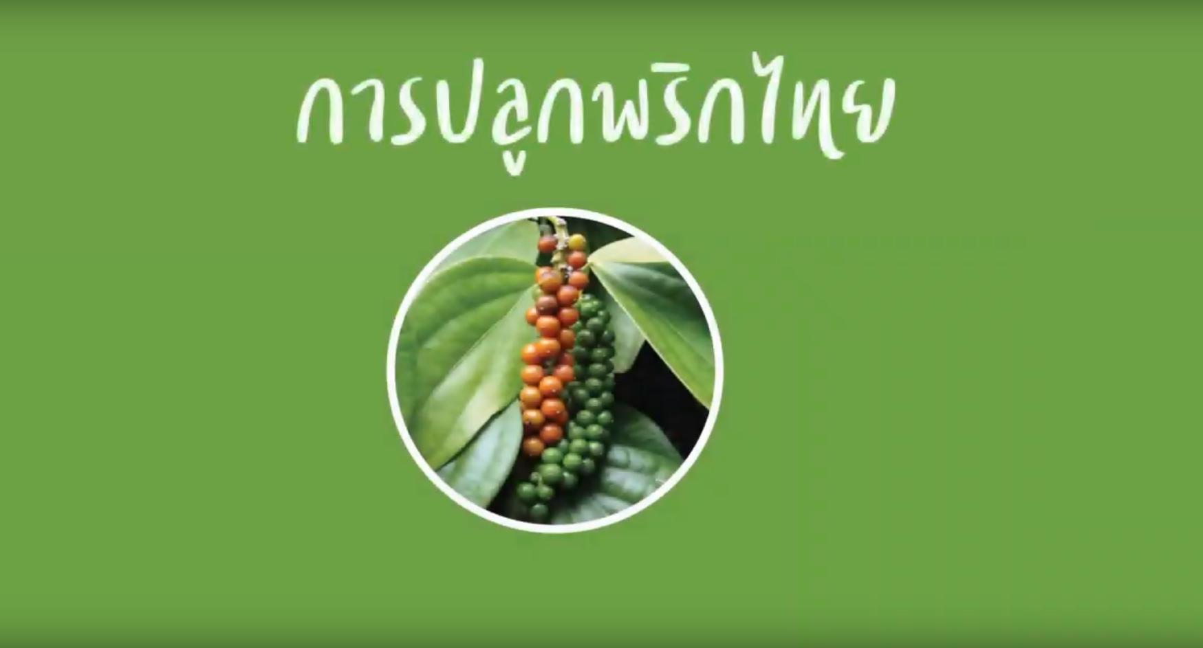 การปลูกและดูแลรักษาพริกไทย